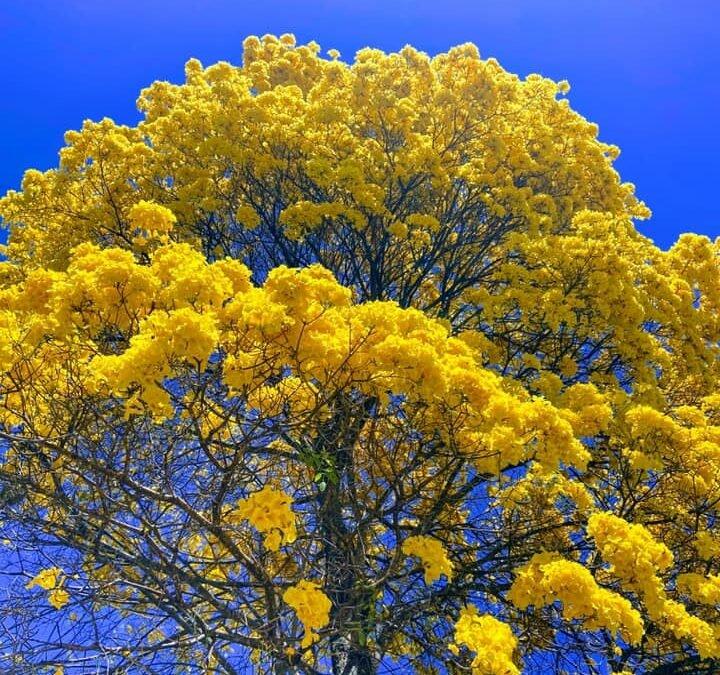 Iporá- Beleza de um Ipê Amarelo na praça da matriz